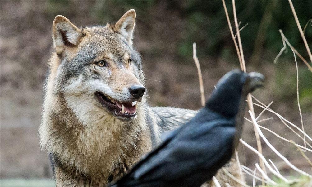 Rabe Und Wolf Ein Starkes Team