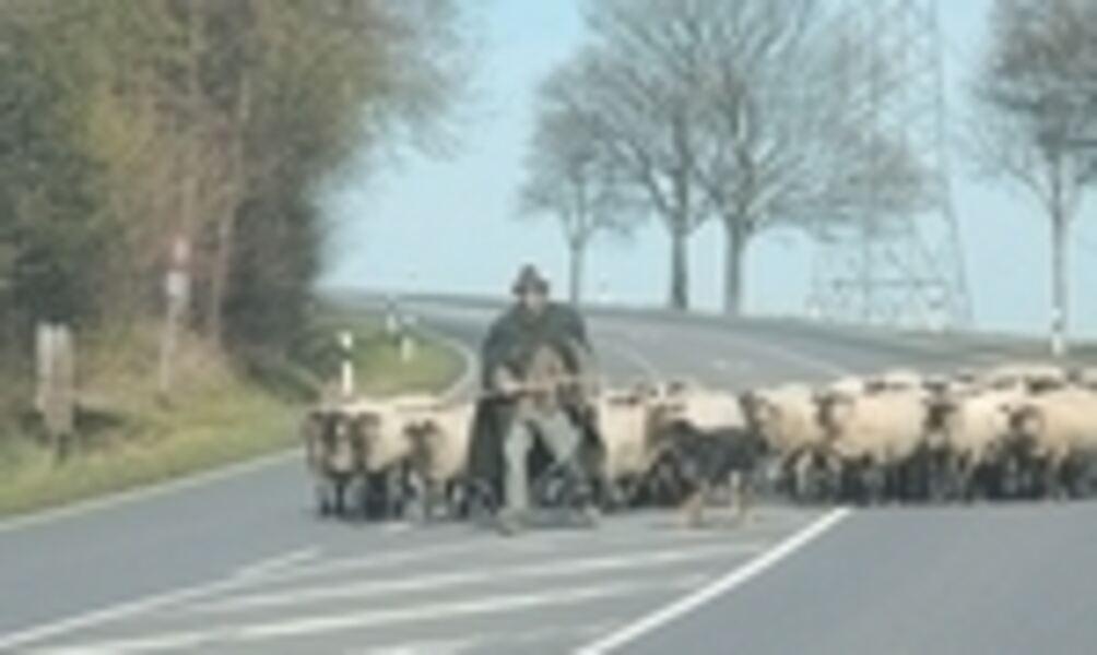 600 Schafe Tierische Vollsperrung Der B 65
