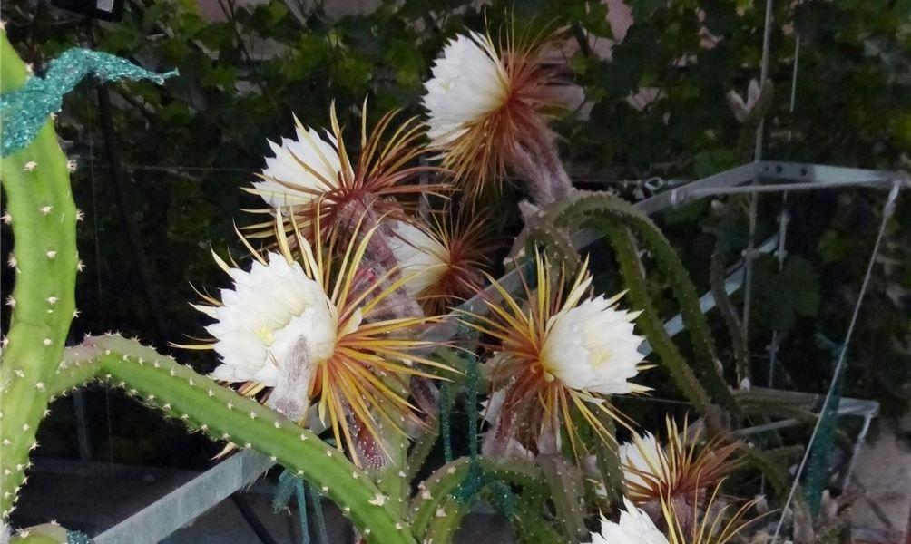 königin der nacht kaktus kaufen